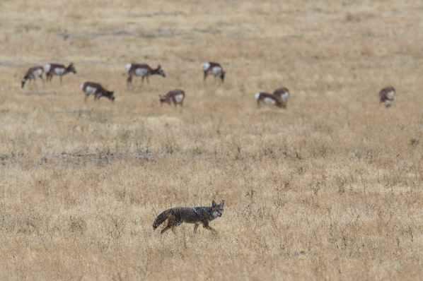 grey and brown fox on open field near herd of deer